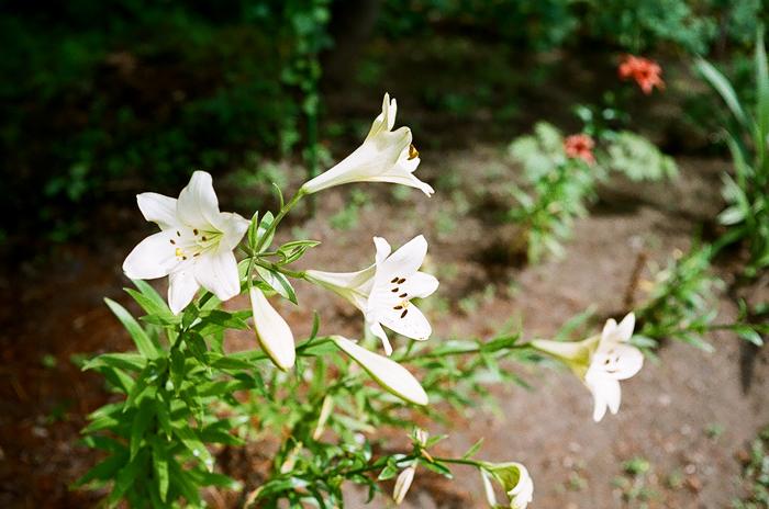 七段花とテッポウユリと Bob Greene のCHEESEBURGERS_c0182775_1343124.jpg