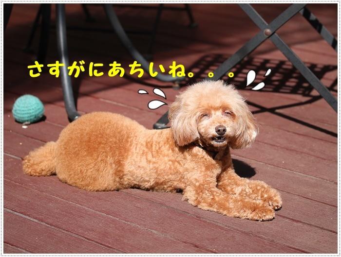 朝から気温30度超え、それでもさくらも大も元気いっぱいで、暑さなんて関係ねえ!!だそうです(ノ ∀`*)σプププwww_b0175688_19471586.jpg