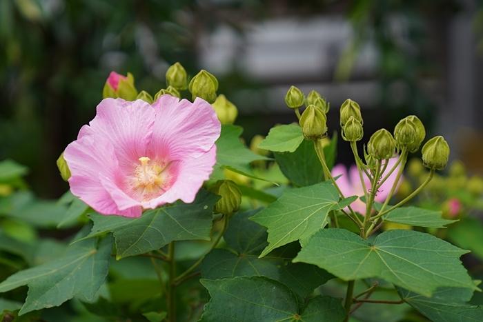 鎌倉の散歩 夏の花_b0145398_22570584.jpg