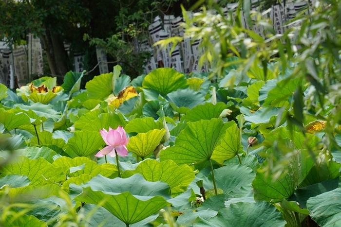鎌倉の散歩 夏の花_b0145398_22592255.jpg