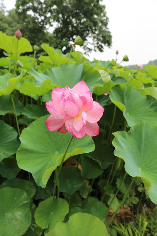 蓮の花♪_b0275998_19543339.jpg