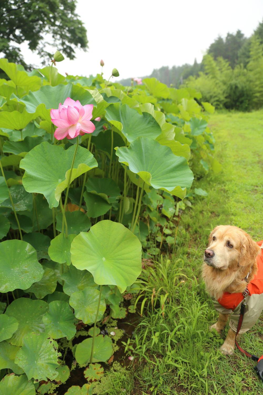 蓮の花♪_b0275998_19544734.jpg