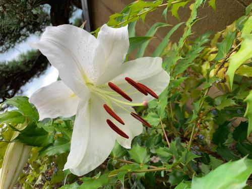 庭のカサブランカ_d0025421_12231421.jpg