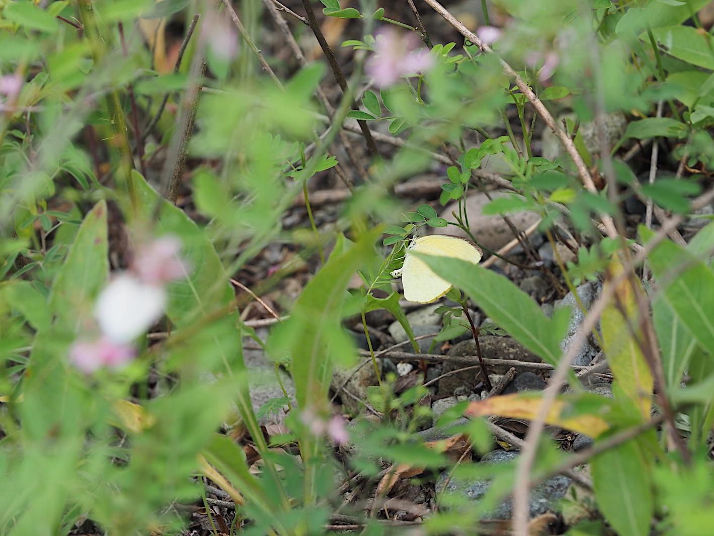 ツマグロキチョウの産卵シーン(2019年7月14日)_d0303129_14343562.jpg
