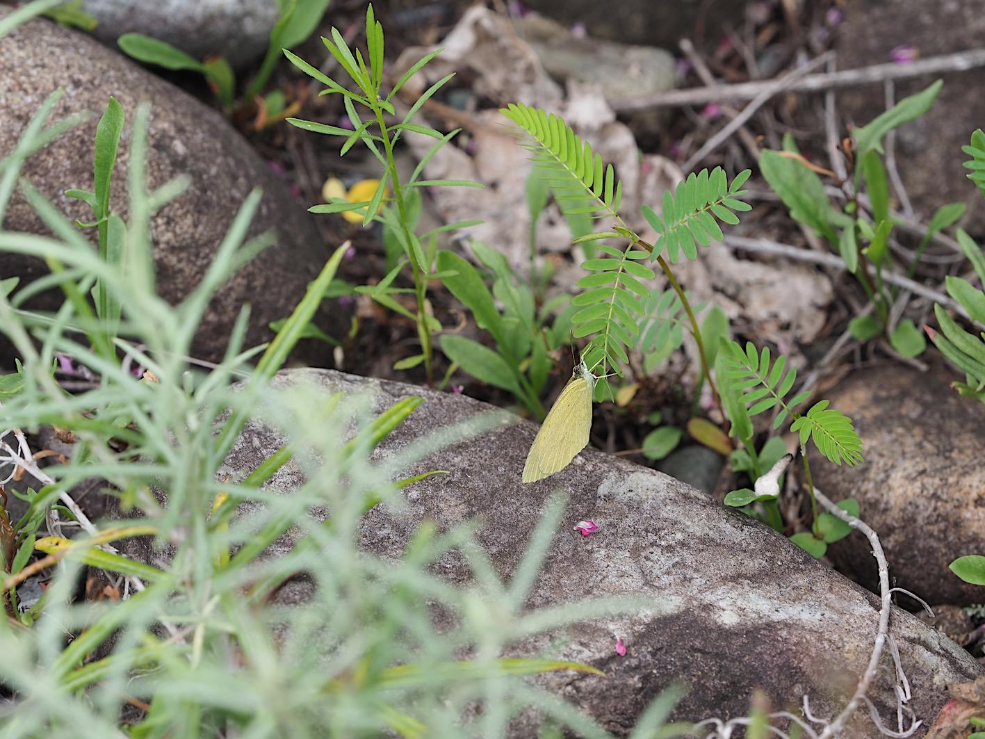 ツマグロキチョウの産卵シーン(2019年7月14日)_d0303129_1434537.jpg