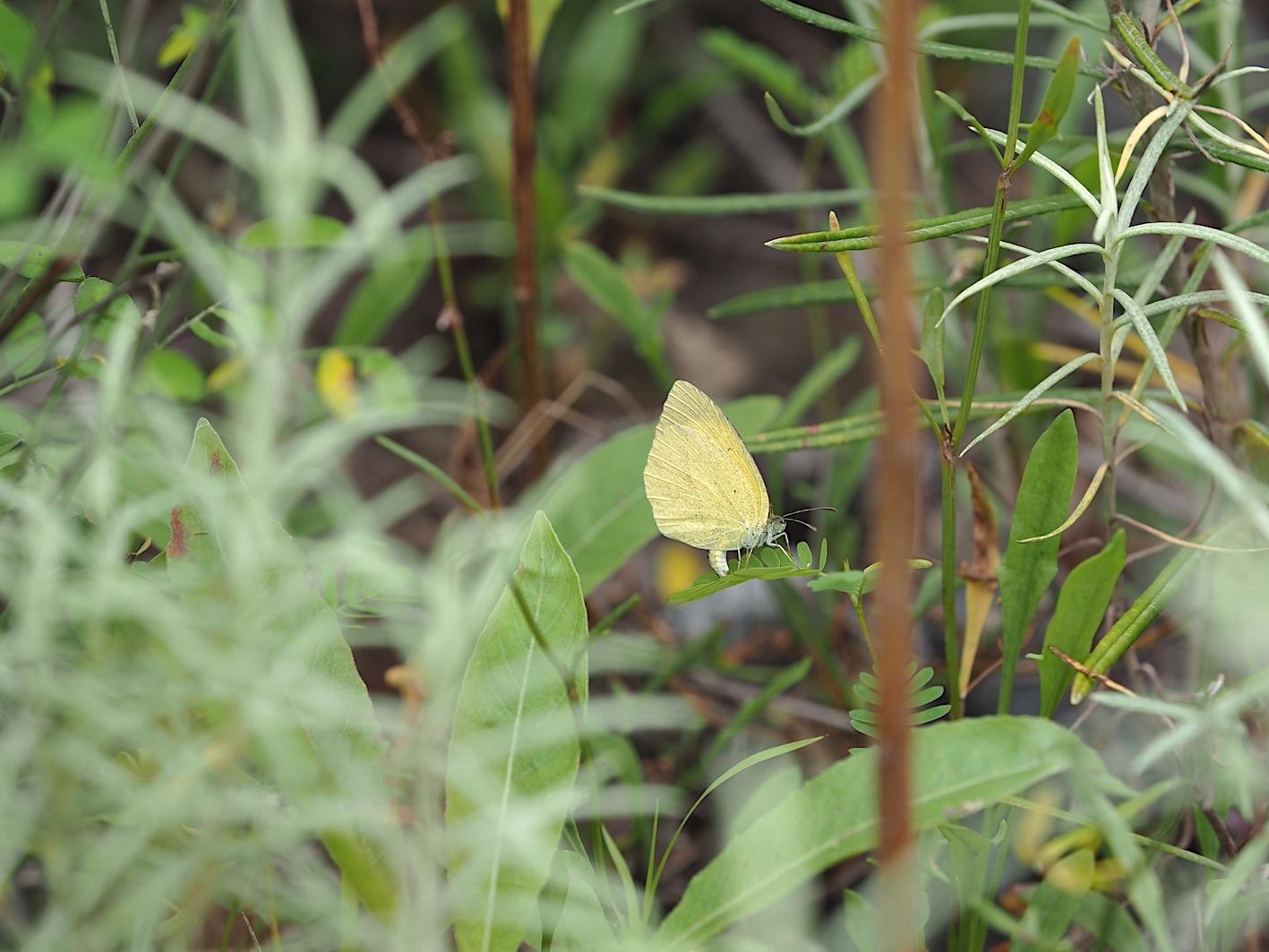 ツマグロキチョウの産卵シーン(2019年7月14日)_d0303129_1435794.jpg