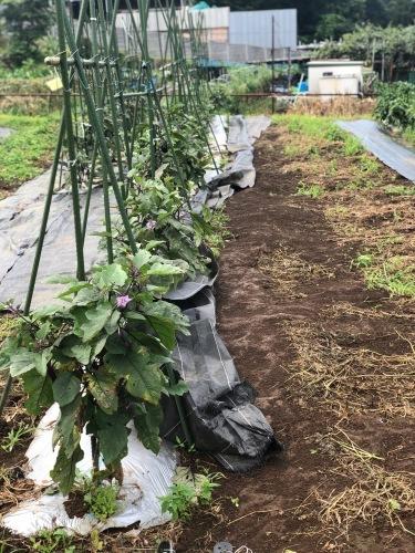 台風6号なんとか逸れた 畑の野菜達セーフ 防草シートが捲られた程度でした_c0222448_11534096.jpg