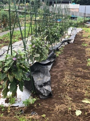 台風6号なんとか逸れた 畑の野菜達セーフ 防草シートが捲られた程度でした_c0222448_11541704.jpg