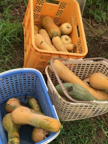 台風6号なんとか逸れた 畑の野菜達セーフ 防草シートが捲られた程度でした_c0222448_11555828.jpg