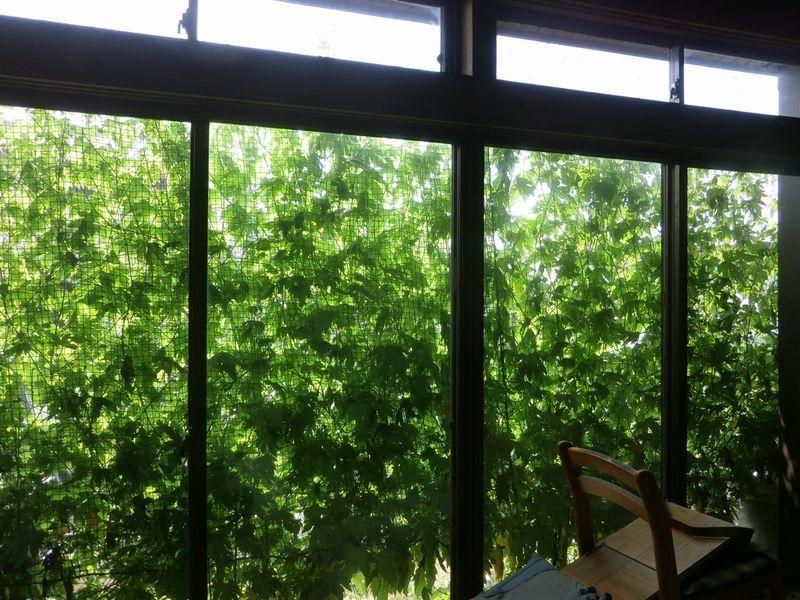 グリーンカーテンの窓とカンピョウ干し_f0018078_16361637.jpg