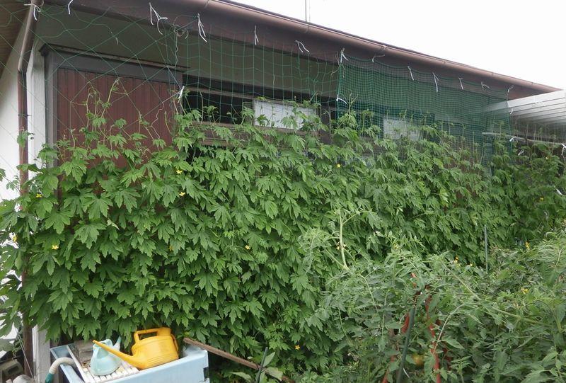 ベリー酒作りとグリーンカーテンの完成_f0018078_16384000.jpg