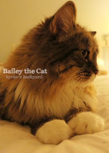 毛だらけベッド / 喉を鳴らすBaileyさん(猫ビデオ付き)_b0253205_06345375.jpg