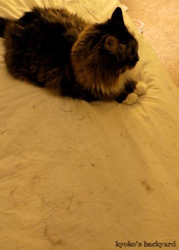 毛だらけベッド / 喉を鳴らすBaileyさん(猫ビデオ付き)_b0253205_06351145.jpg