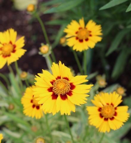 斑入り葉を集めるフイラーなワタクシ_e0341606_19464006.jpg