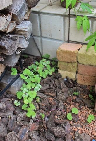 斑入り葉を集めるフイラーなワタクシ_e0341606_19535102.jpg