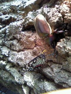 今年もカブト虫がおりました。_b0255217_15005086.jpg
