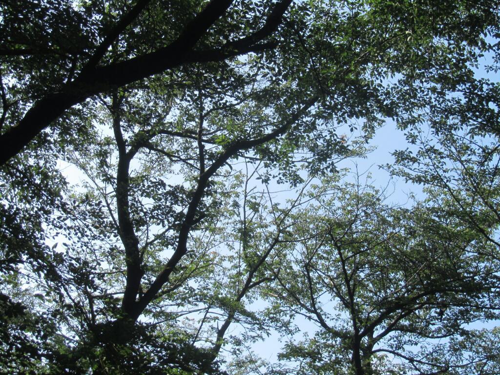 ⑧桜の天井