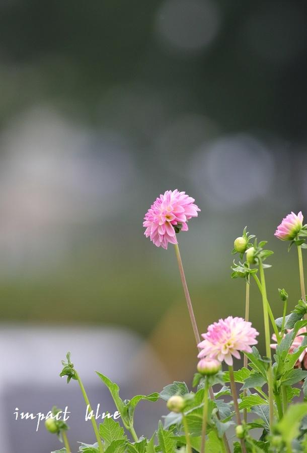 アイガモ公園の花壇にて(^^)/ ~最終回~_a0355908_14195299.jpg