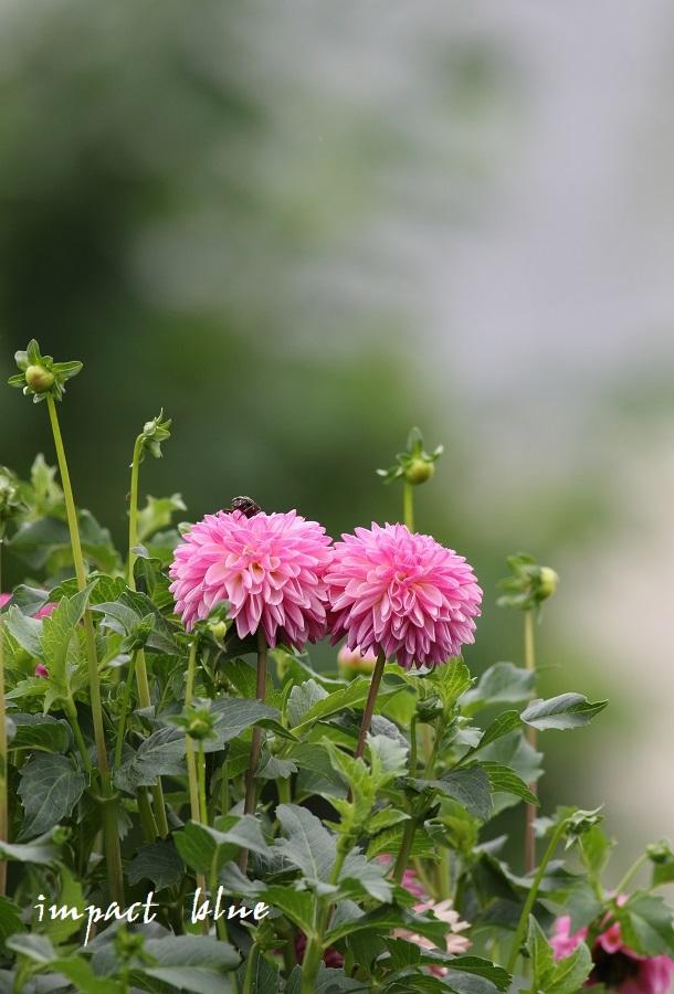 アイガモ公園の花壇にて(^^)/ ~最終回~_a0355908_14200114.jpg