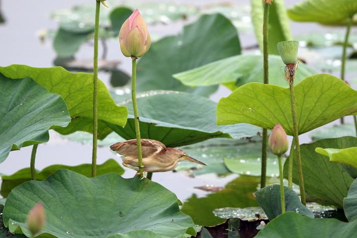 蓮池のヨシゴイ その12_f0239515_1534040.jpg