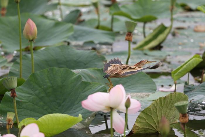 蓮池とヨシゴイ その13_f0239515_15403062.jpg