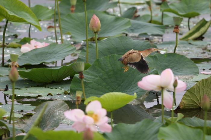 蓮池とヨシゴイ その13_f0239515_1540818.jpg