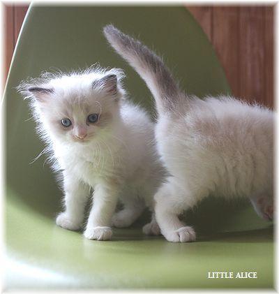 ☆ラグド-ルの仔猫~飛んで跳んでとんで~_c0080132_11410460.jpg