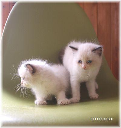 ☆ラグド-ルの仔猫~飛んで跳んでとんで~_c0080132_11412345.jpg