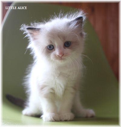 ☆ラグド-ルの仔猫~飛んで跳んでとんで~_c0080132_11415424.jpg