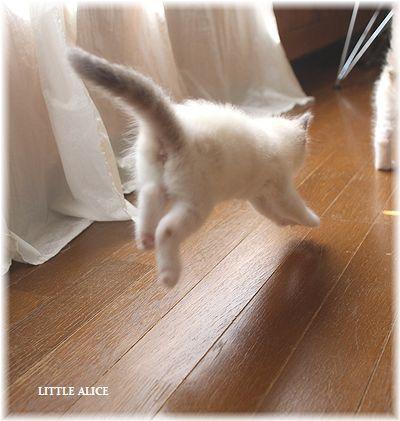 ☆ラグド-ルの仔猫~飛んで跳んでとんで~_c0080132_11423511.jpg