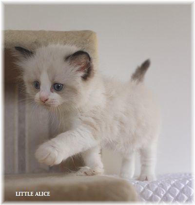 ☆ラグド-ルの仔猫~飛んで跳んでとんで~_c0080132_11442513.jpg