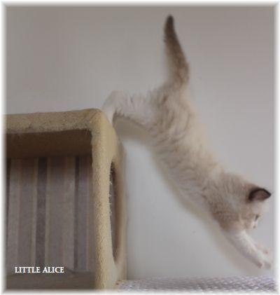 ☆ラグド-ルの仔猫~飛んで跳んでとんで~_c0080132_11453817.jpg