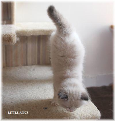 ☆ラグド-ルの仔猫~飛んで跳んでとんで~_c0080132_11464041.jpg