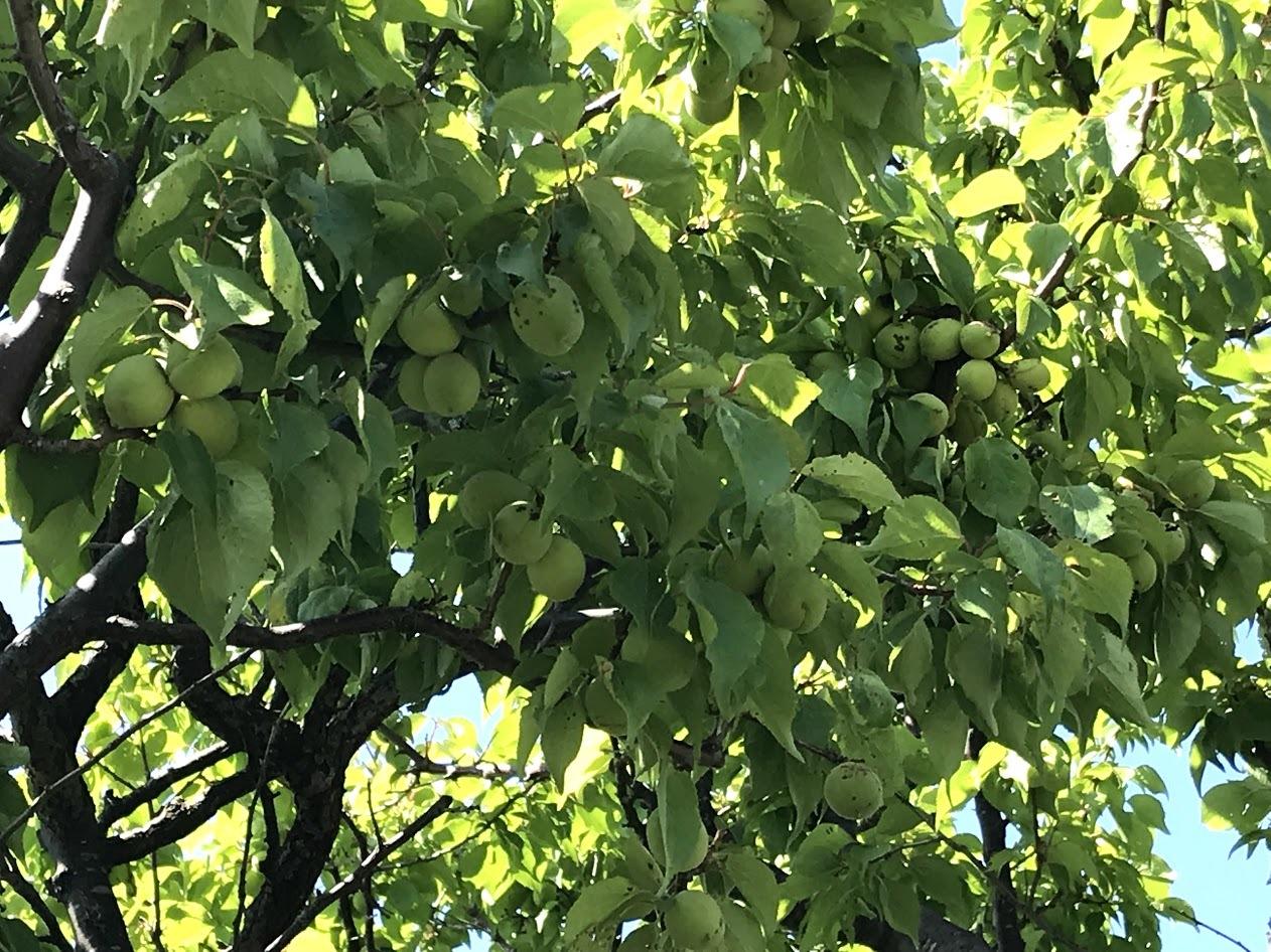 梅の大豊作、梅干しへ_c0189970_09133043.jpg