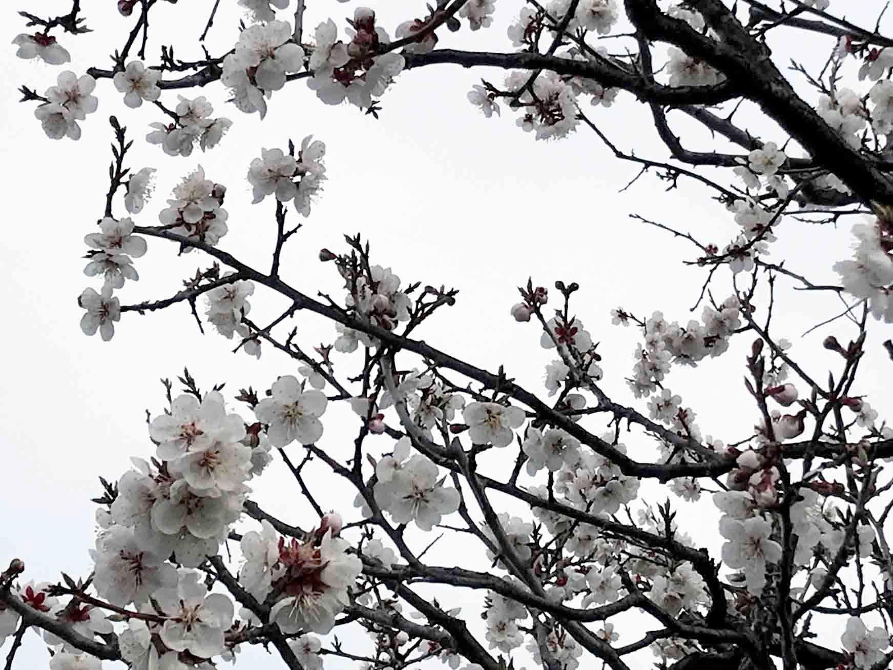 梅の大豊作、梅干しへ_c0189970_09160645.jpg