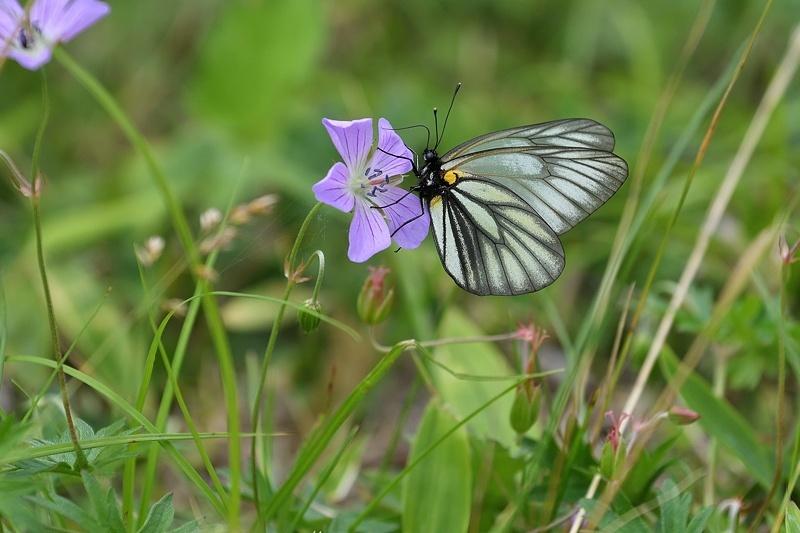 高山の蝶たち-1(ミヤマシロチョウ:2019/7/26)_f0031682_13424422.jpg