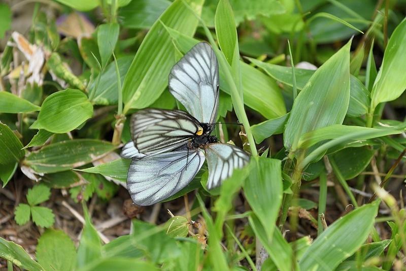 高山の蝶たち-1(ミヤマシロチョウ:2019/7/26)_f0031682_13425416.jpg