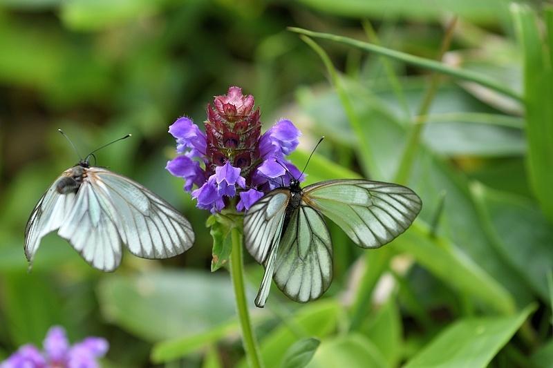 高山の蝶たち-1(ミヤマシロチョウ:2019/7/26)_f0031682_13425421.jpg