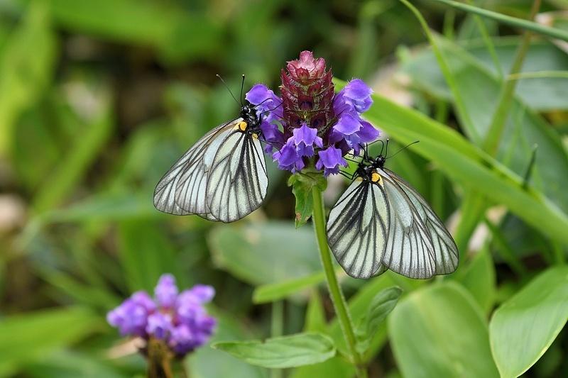 高山の蝶たち-1(ミヤマシロチョウ:2019/7/26)_f0031682_13425434.jpg