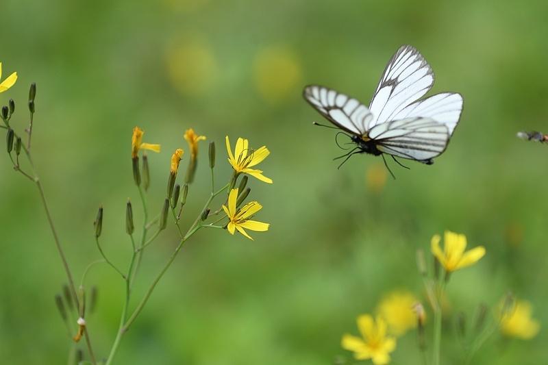 高山の蝶たち-1(ミヤマシロチョウ:2019/7/26)_f0031682_13425438.jpg