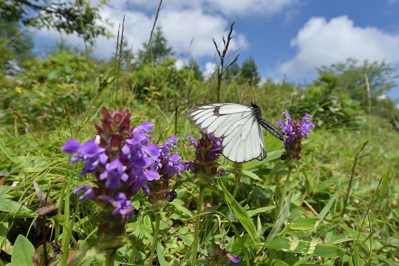 高山の蝶たち-1(ミヤマシロチョウ:2019/7/26)_f0031682_13425481.jpg