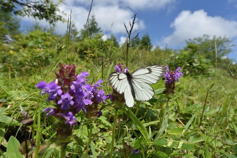 高山の蝶たち-1(ミヤマシロチョウ:2019/7/26)_f0031682_13430158.jpg