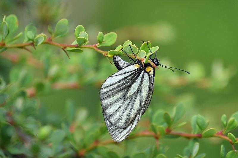 高山の蝶たち-1(ミヤマシロチョウ:2019/7/26)_f0031682_13430227.jpg