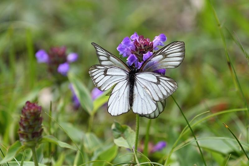 高山の蝶たち-1(ミヤマシロチョウ:2019/7/26)_f0031682_13430257.jpg