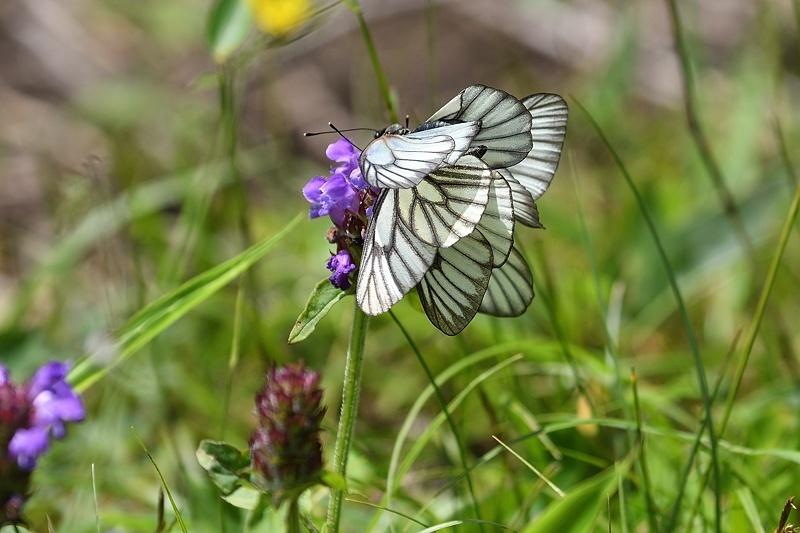 高山の蝶たち-1(ミヤマシロチョウ:2019/7/26)_f0031682_13430265.jpg