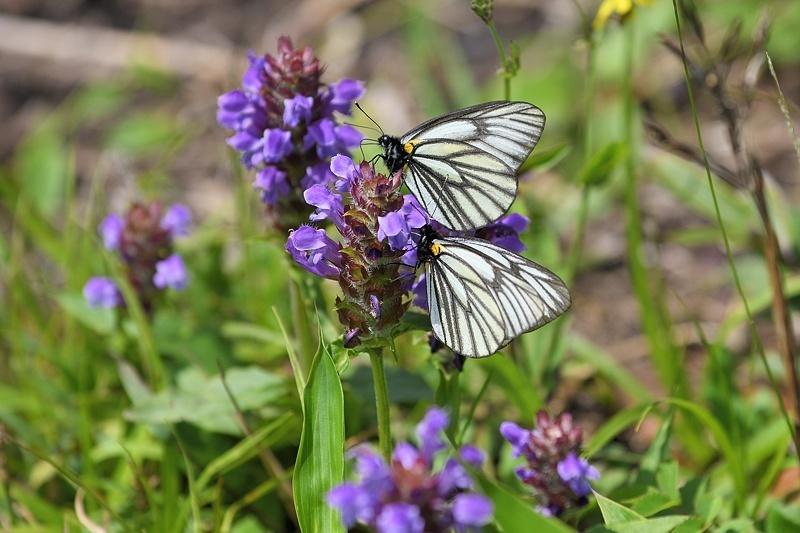 高山の蝶たち-1(ミヤマシロチョウ:2019/7/26)_f0031682_13430907.jpg