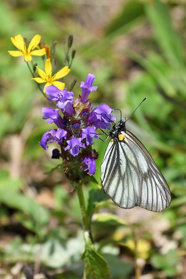 高山の蝶たち-1(ミヤマシロチョウ:2019/7/26)_f0031682_13430908.jpg