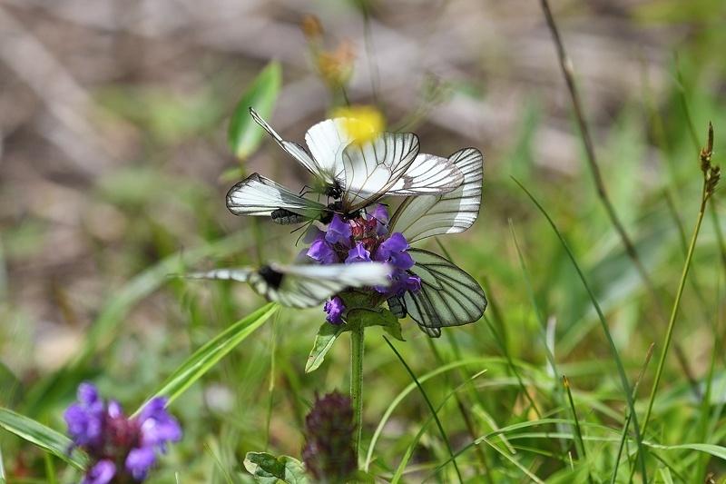 高山の蝶たち-1(ミヤマシロチョウ:2019/7/26)_f0031682_13430995.jpg