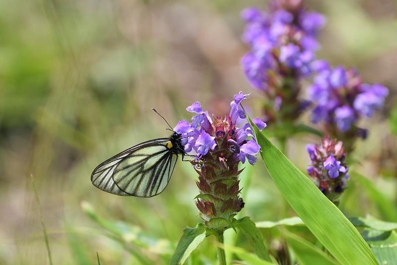 高山の蝶たち-1(ミヤマシロチョウ:2019/7/26)_f0031682_13431035.jpg