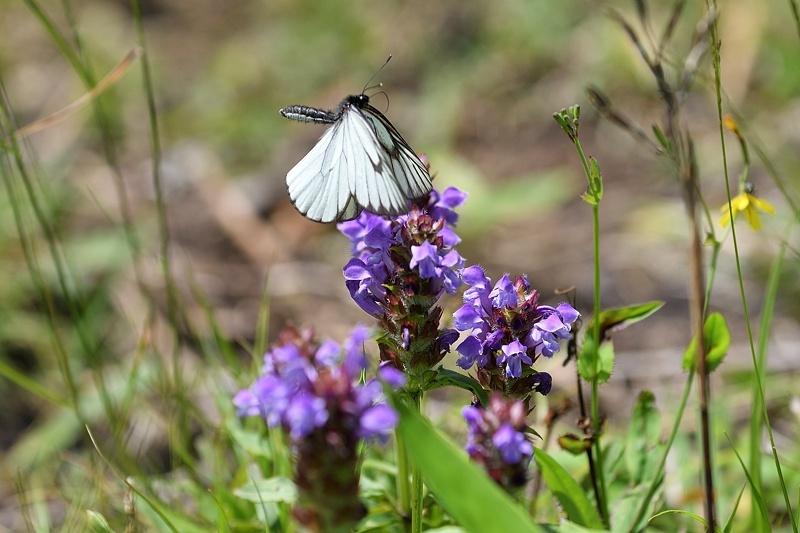 高山の蝶たち-1(ミヤマシロチョウ:2019/7/26)_f0031682_13431042.jpg